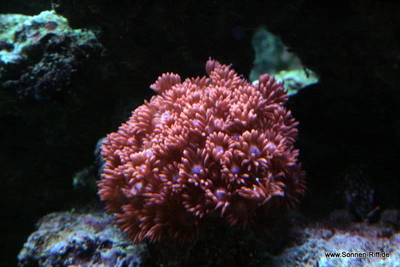 goniopora