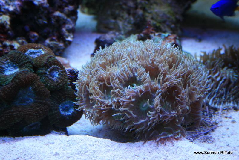 koralle-rar